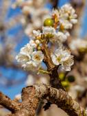 The plum blossom in Chiengmai - North of Thailand. — Stock Photo