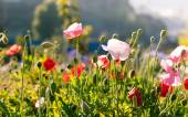 Red poppy flowers in Chiengmai - North of Thailand. — Stock Photo