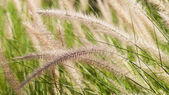Flowering grass during on the morning. — Stock Photo