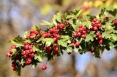 Hawthorn branch — Stock Photo