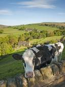 Friesian calf in a field overlooking a Yorkshire Valley — Stock Photo
