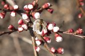 Bee pollinates flowers apricot tree — Photo