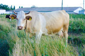 Beige cow with yellow tags — Stock Photo