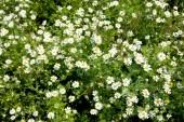 Many little chamomiles — Stock Photo