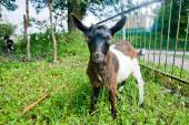 White and brown small goat — Stock Photo