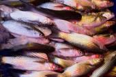 Frozen fish — Stock Photo