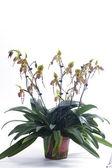 Paphiopedilum orchids flower. — Stok fotoğraf