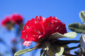 Rhododendron flowers — Fotografia Stock