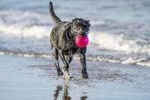 собака, в море, перевозящих мяч, с копией пространства — Стоковое фото
