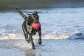 Dog running in sea carrying ball — Stock Photo