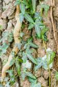 Ivy on tree — Stock Photo