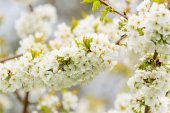White cherry blossoms — Stock Photo