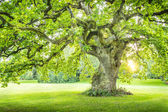Lonely big green tree with sunrays sunset sunrise vertical — Stock Photo