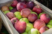 Crate full of apples near a tree  — Stock fotografie