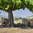Bulgarian sheep sheltering in the shade under the branches of a tree — Stock Photo #64985827