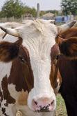 La vaca en el patio del pueblo — Foto de Stock