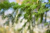 The yew tree branch — Stock Photo