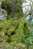 Lichen moss on old tree — Stock Photo