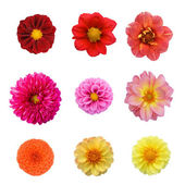 Set nine dahlias isolated on white background — Stock Photo