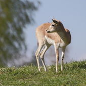 Persian gazelle on the hill — Stock Photo