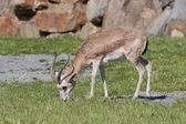 Grazing persian gazelle — Stock Photo
