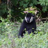 White-cheeked gibbon portrait — Stock Photo