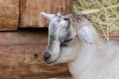 Kid goat closeup portrait — Foto de Stock