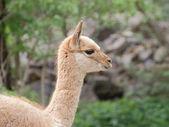Young llama vicuna portrait — Stock Photo
