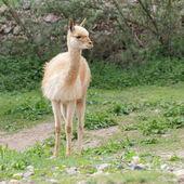Young llama vicuna — Stock Photo