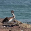 Pelican on mountain near the water — Stock Video #69025687