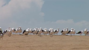 Seagulls at Paracas National Park Reserve — Stock Video