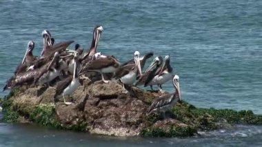 Pelicans at Small Bay in the Paracas National Park — Stock Video