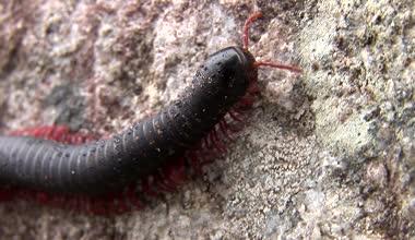 Large millipede walks along — Stock Video