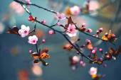 Beautiful flowering Japanese cherry - Sakura. Background with flowers on a spring day. — Stock Photo
