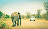Elephant crossing the road at safari park - Concept of connection between human life and wildlife animal - Free animals in nature game reserve in South Africa — Stock Photo