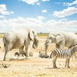 Group of wild mixed animals relaxing on a water pool spot at Etosha Park - World famous natural wonder in the north territory of Namibia - African safari game drives and free wildlife outdoors — Photo #62860799