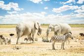 Group of wild mixed animals relaxing on a water pool spot at Etosha Park - World famous natural wonder in the north territory of Namibia - African safari game drives and free wildlife outdoors — Stok fotoğraf