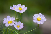Lavender Annual Cosmos Blossoms — Zdjęcie stockowe