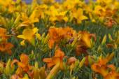 Gold and Orange Daylily Blooms — Stockfoto