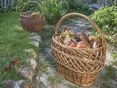 Grzyby jadalne (biały, osika, Borowik) w wiklinowym koszu na działce — Zdjęcie stockowe