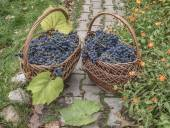 Bunches of ripe grapes sort of Isabella (Vitis labrusca) in wick — ストック写真