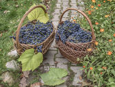 Bunches of ripe grapes sort of Isabella (Vitis labrusca) in wick — Stockfoto