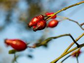 Rose Hips on the branch — Foto Stock