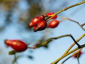 Rose Hips on the branch — Zdjęcie stockowe