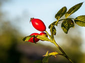 Rose Hips on the branch — Stock Photo