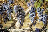 Red wine grapes ripening on the vine — Stock Photo