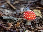 Wild Mushroom — Stock Photo