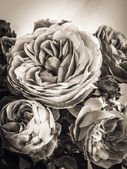 Rose seppia — Foto Stock