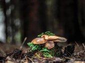 Wild forrest mushroom — Stock Photo