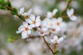 Çiçeklenme ilkbahar — Stok fotoğraf